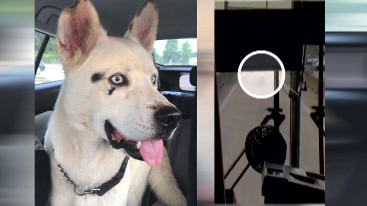 Husky found in HOV lane