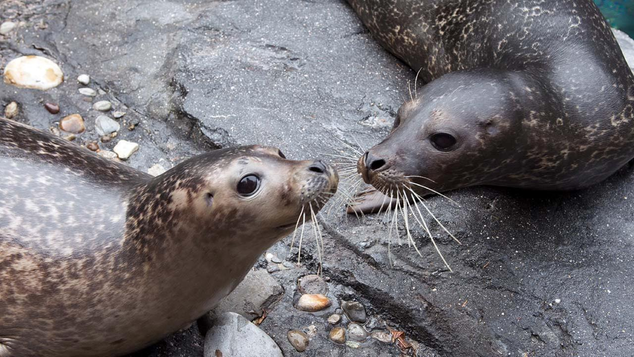 In this Dec. 11, 2014 photo provided by the Wildlife Conservation Society, a pair of young harbor seals recline on the rocks at the Central Park Zoo in New York
