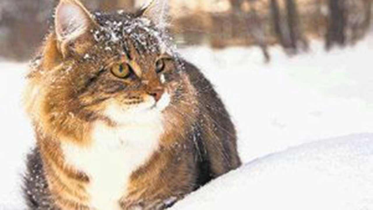 Cats that are left outdoors during a cold night may seek warmth by crawling up under the hoods of cars or into the wheel wells.