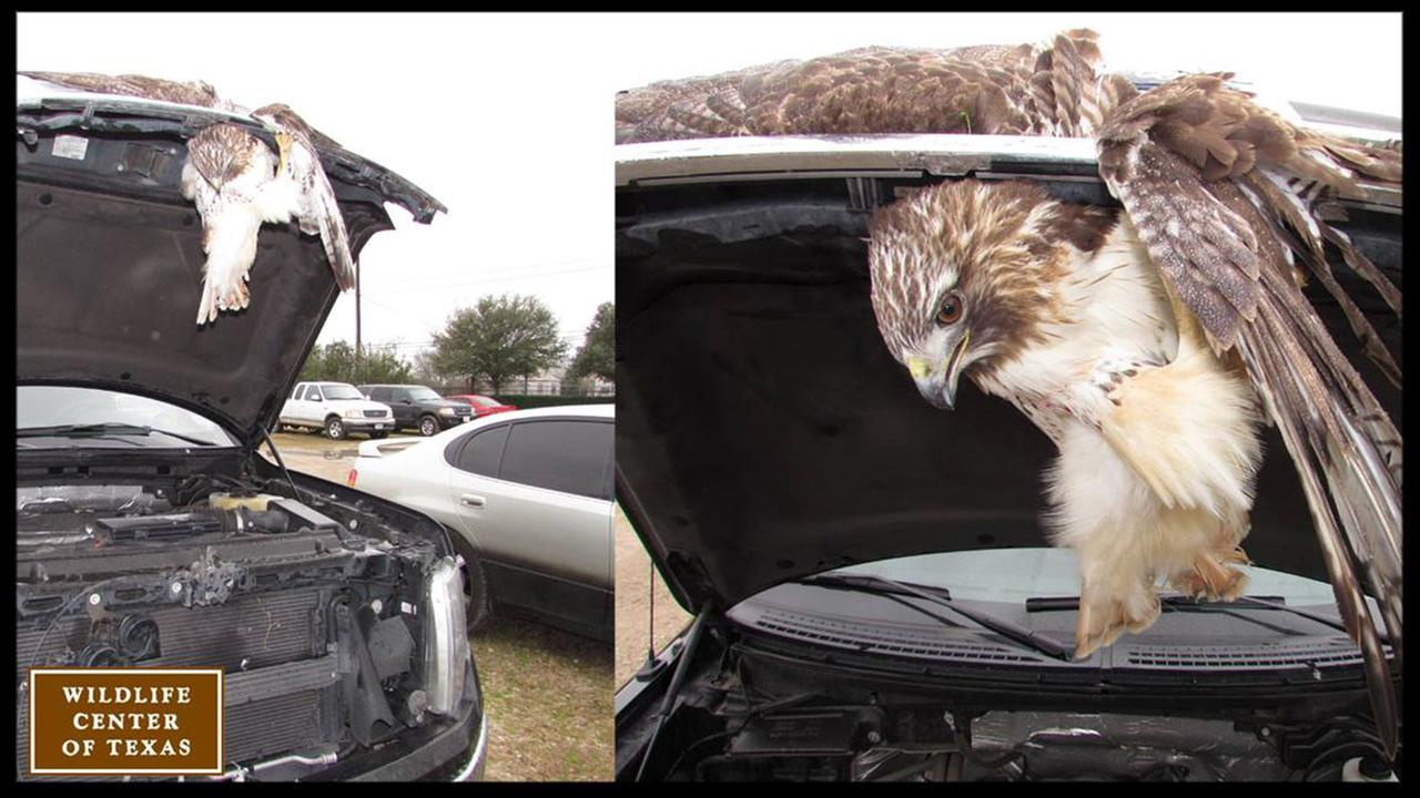 Red-tailed hawk gets ride of its life in truck grill