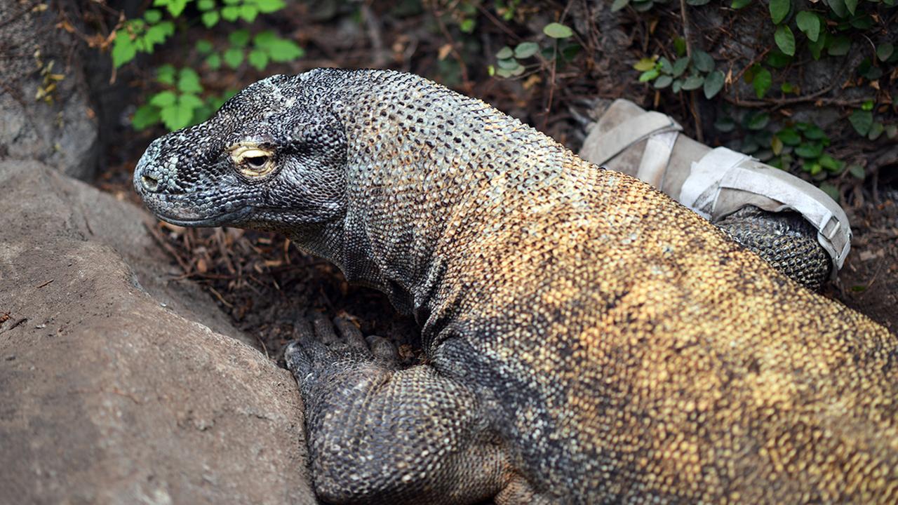 Smaug, the Komodo dragon