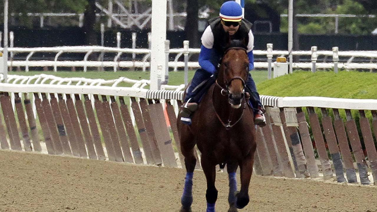 American Pharoah, with exercise rider Jorge Alvarez up, gallops around the track at Belmont Park, Friday, June 5, 2015, in Elmont, NY