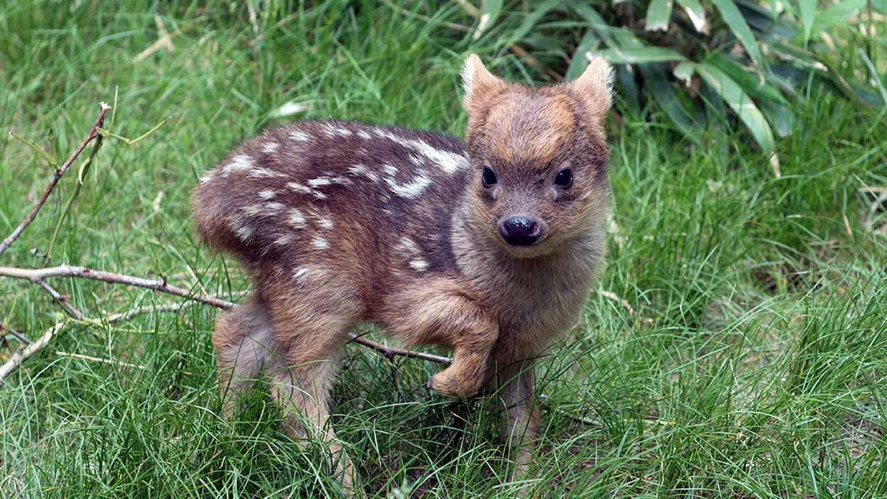 In this May 27, 2015 photo provided by the Wildlife Conservation Society, a southern pudu fawn walks in its enclosure at the Queens Zoo in New York.