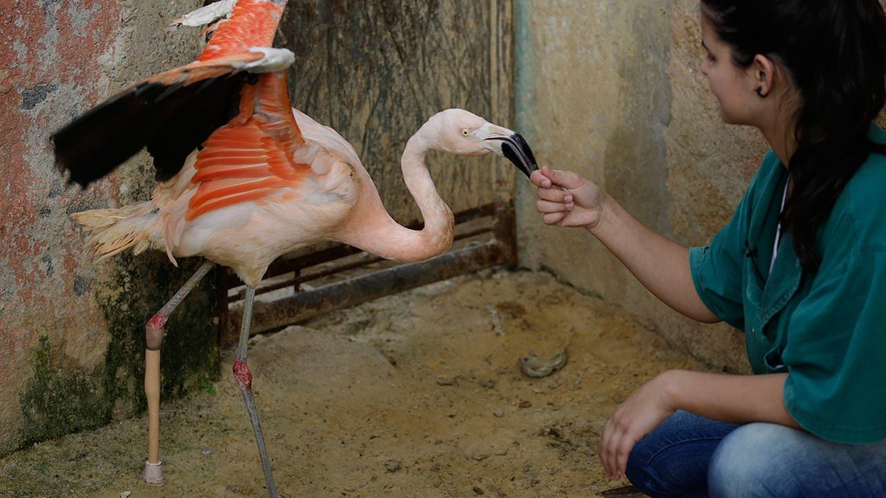 Rode Gomes, a zoo veterinarian, visits with a Chilean flamingo using a specially-made prosthetic leg, at a zoo in Sorocaba, Brazil, Tuesday, June 23, 2015.