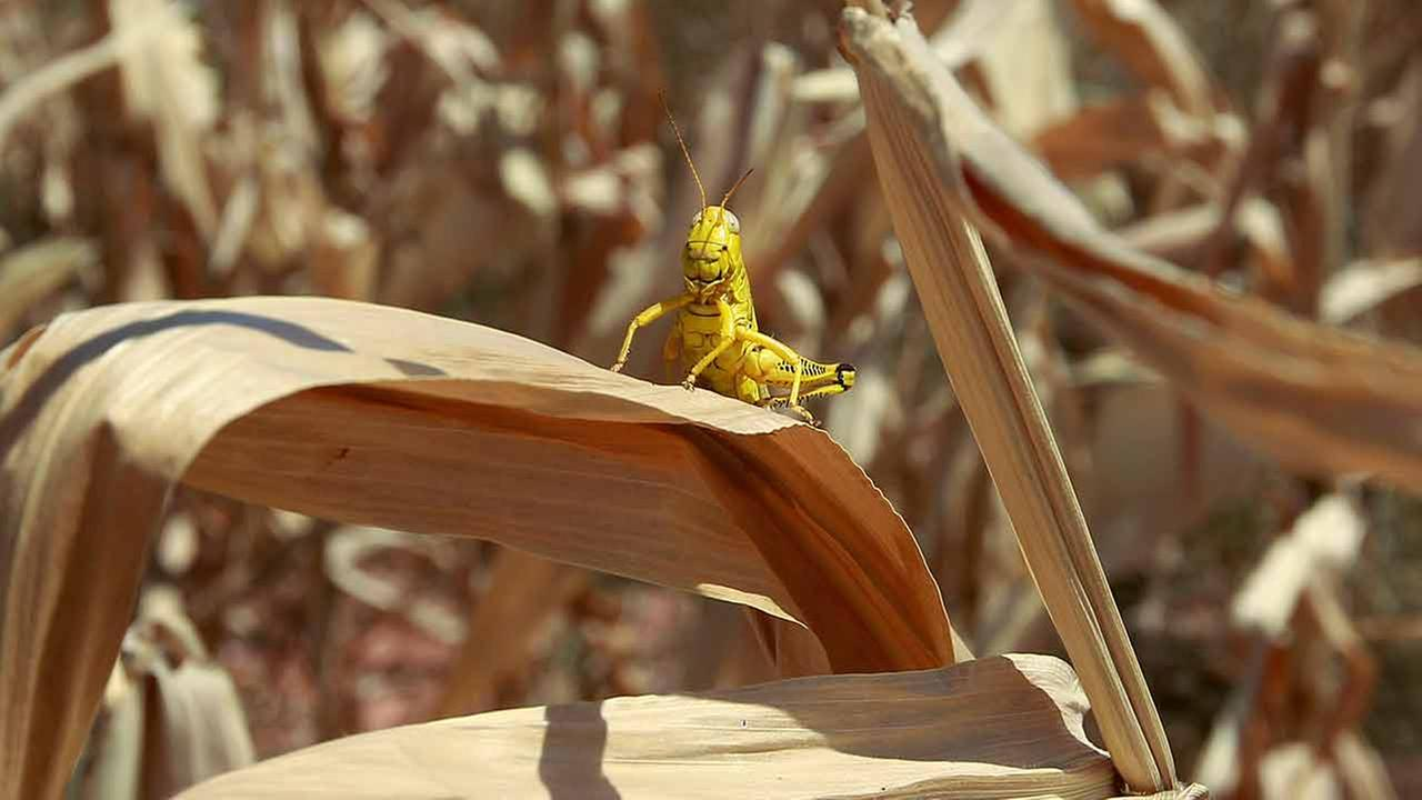 Spring rains likely cause of Amarillo grasshopper scourge | abc13.com