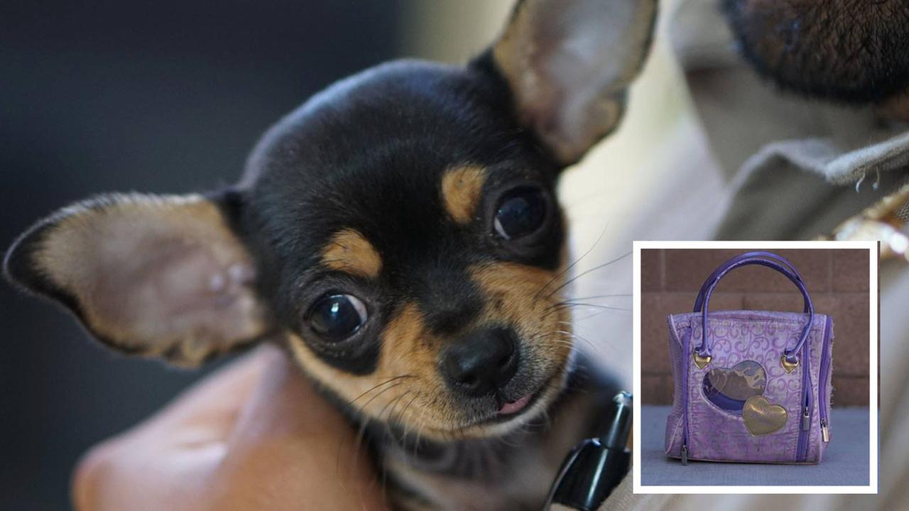 Pierre the Puppy, and in the corner, an image of the purse he was found in near the restaurant in Salinas, CA