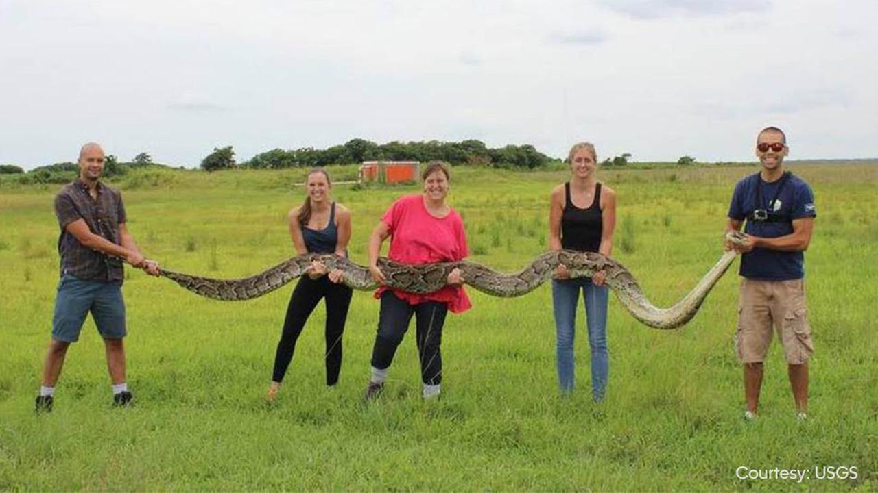 Giant Burmese python