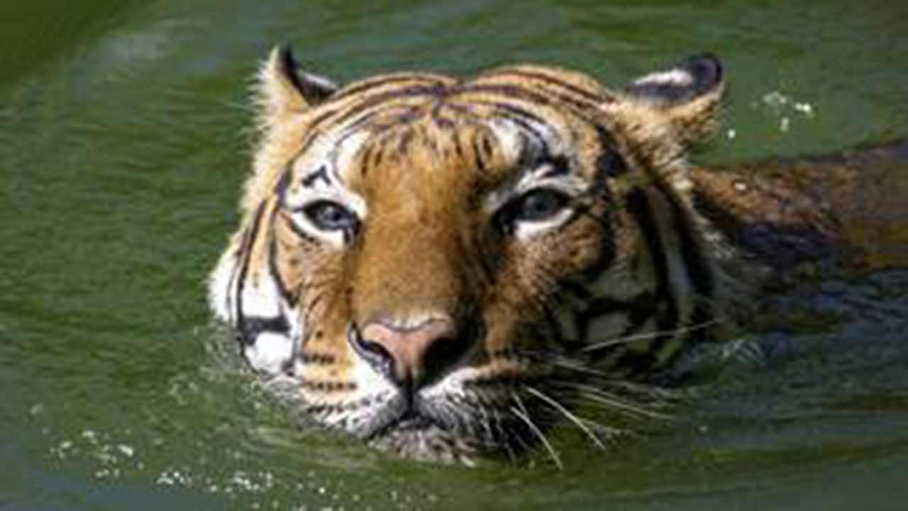 Pandu, one of the Houston Zoos two elderly Malayan tigers, was euthanized today.