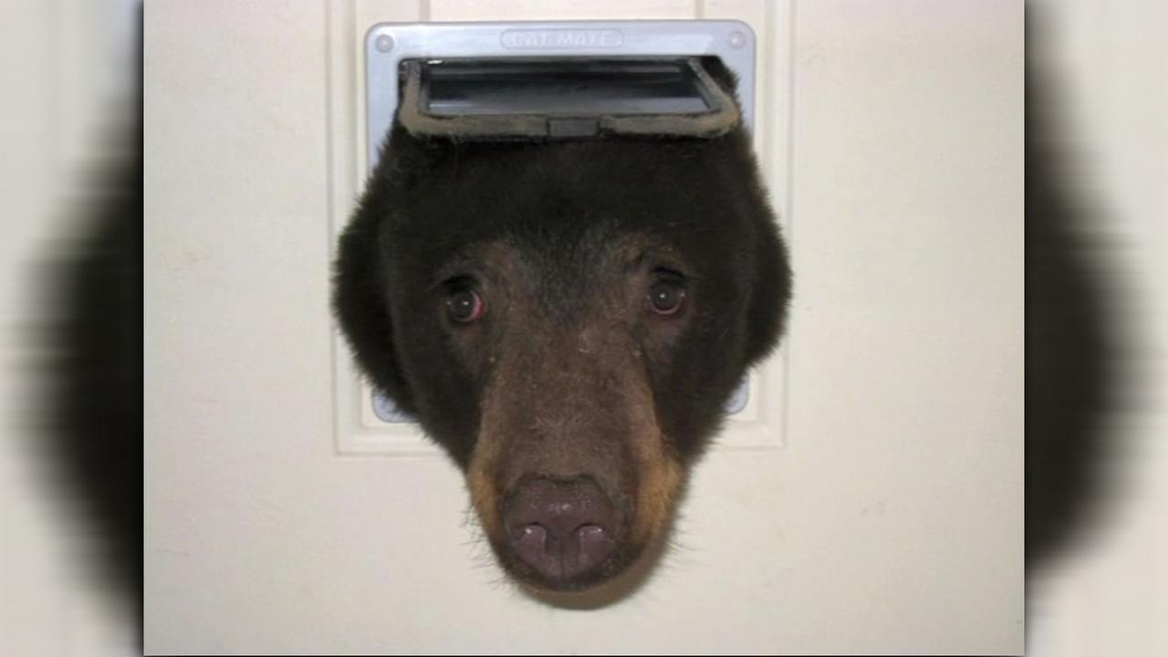 Bear stuck in cat door