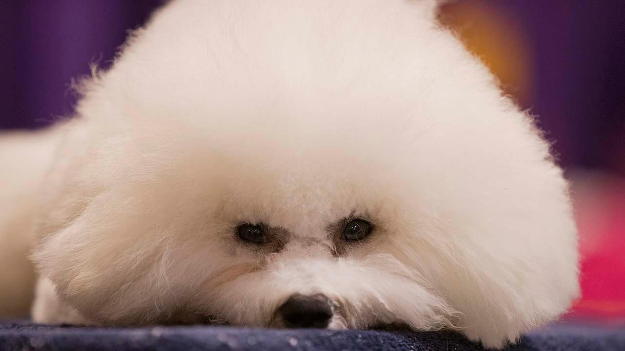 A Bichon Frise seen at The Westminster Kennel Club Dog Show Monday, Feb. 11, 2013, at Madison Square Garden in New York. This is not the dog referred to in this story.
