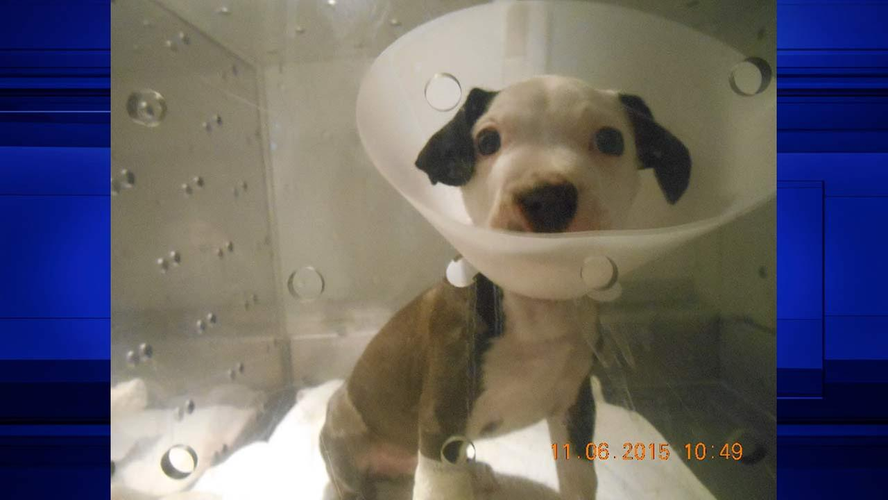 Rescued 'bait dog' puppy recovering after life-saving surgery