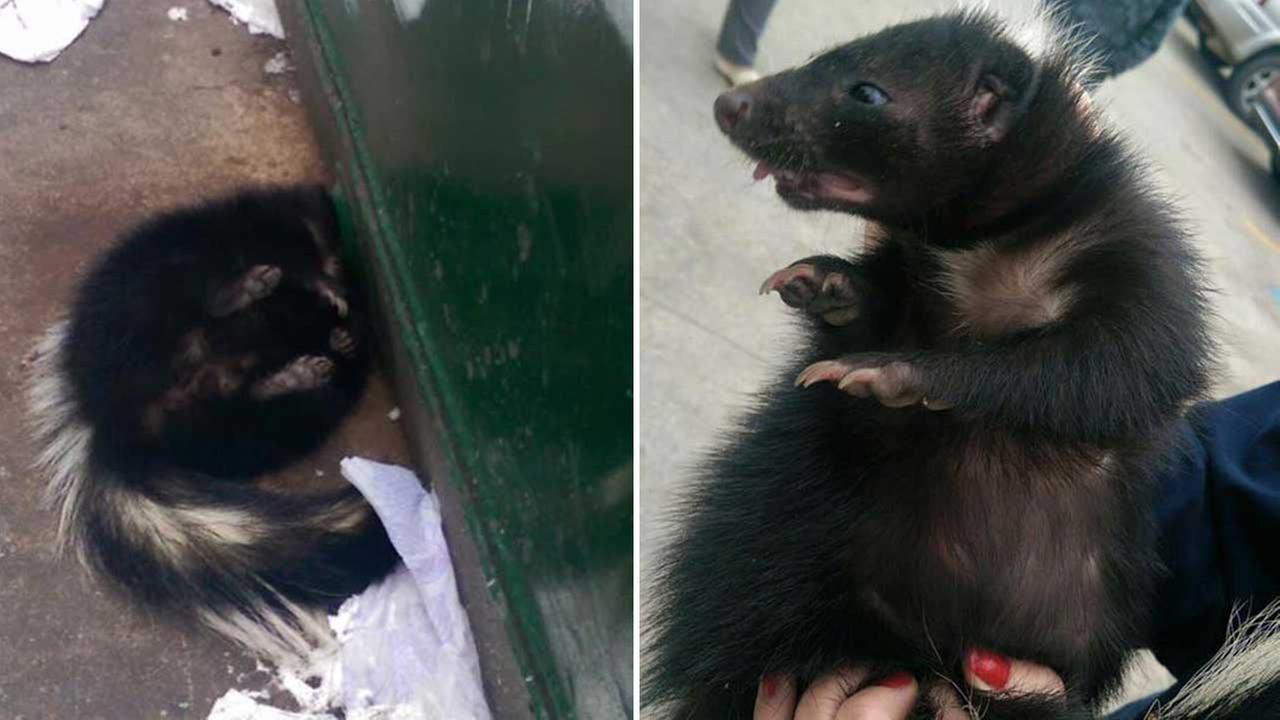 Freeport animal control officer frees skunk without getting sprayed