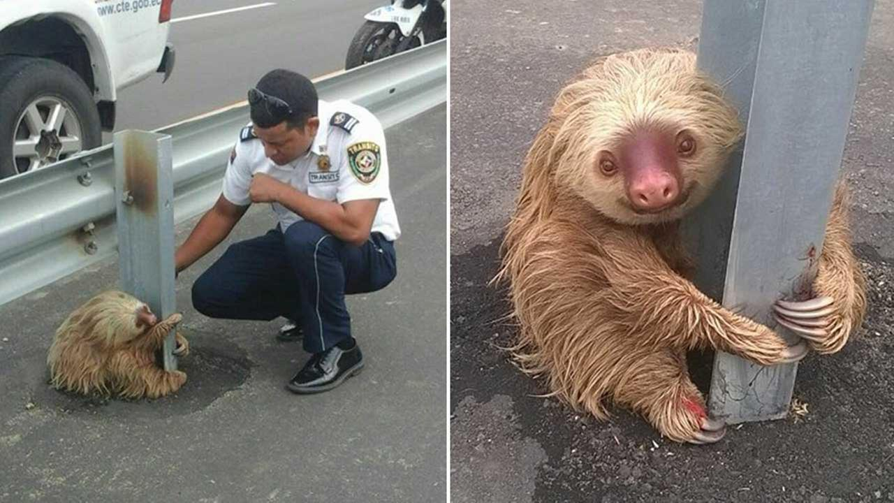 Officer Aguayo stopped to check on the sloth, which was struggling to cross the road.
