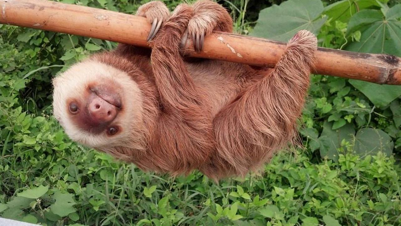 A sloth rescued from a highway in Ecuador flourishes at his new habitat.