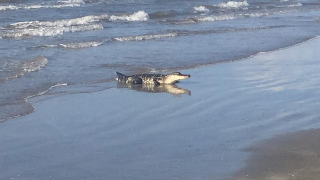 Alligator Garden City Beach Sc