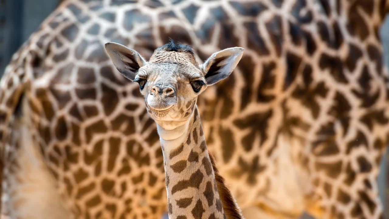 Baby giraffe at Houston Zoo now has a name