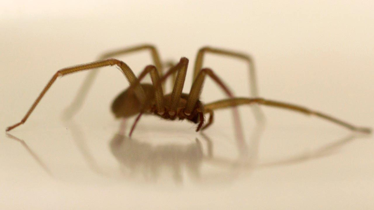 A live Brown Recluse Spider crawls in a dish at the Smithsonian Institution National Museum of Natural History in Washington