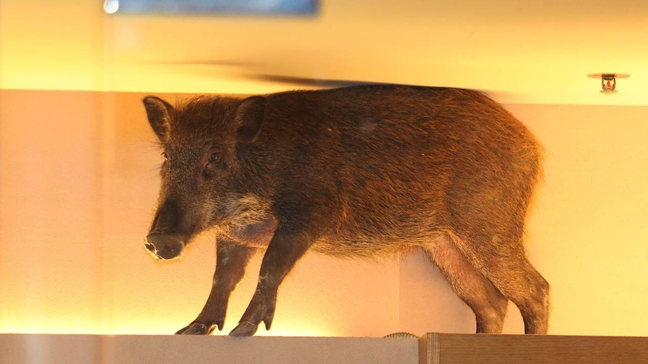 In this photo taken Sunday, May 10, 2015 photo, a wild boar is seen on top of a display rack at a childrens clothing store in a mall in Hong Kong