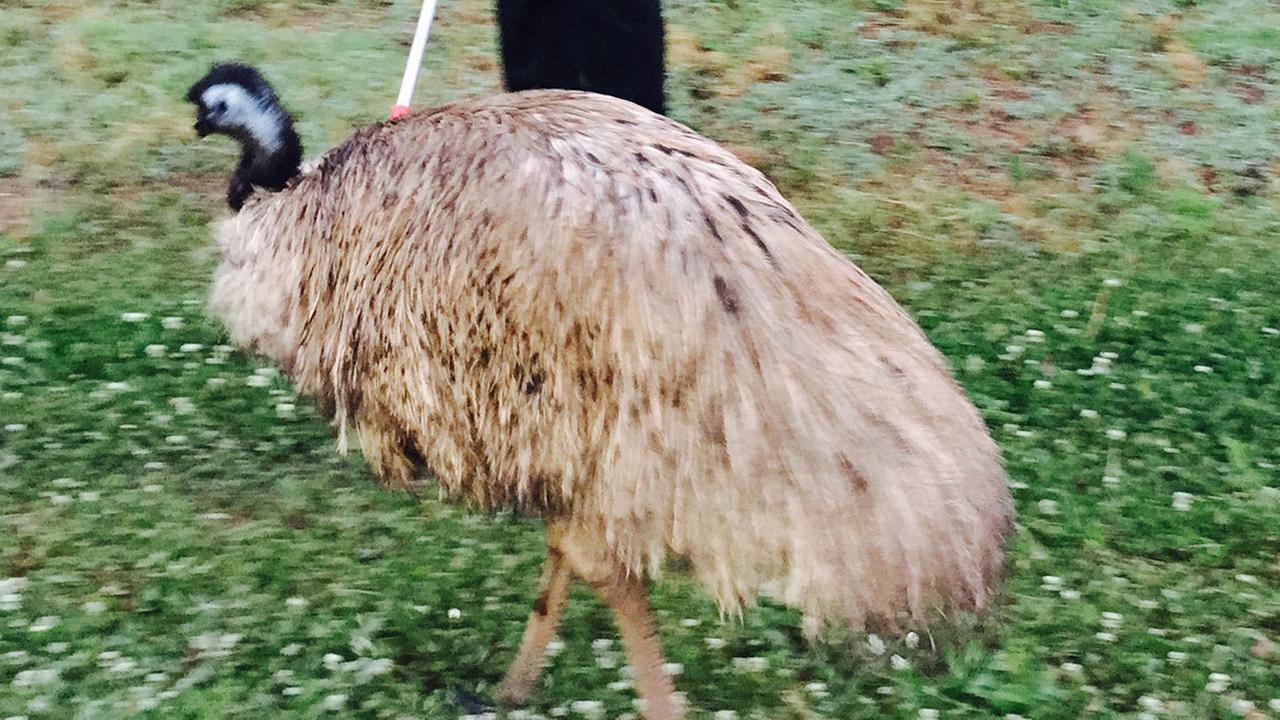 Emu on the loose