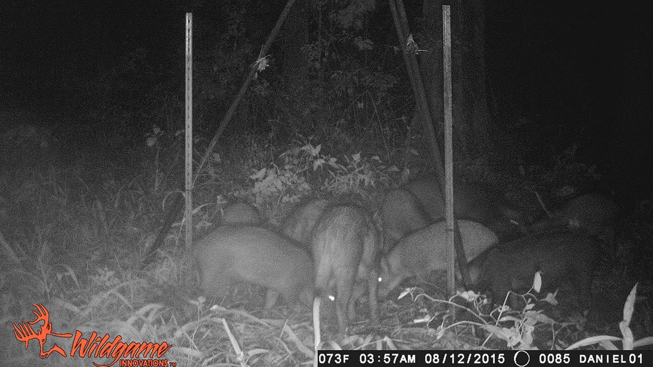 Feral hogs damage Liberty High School practice field