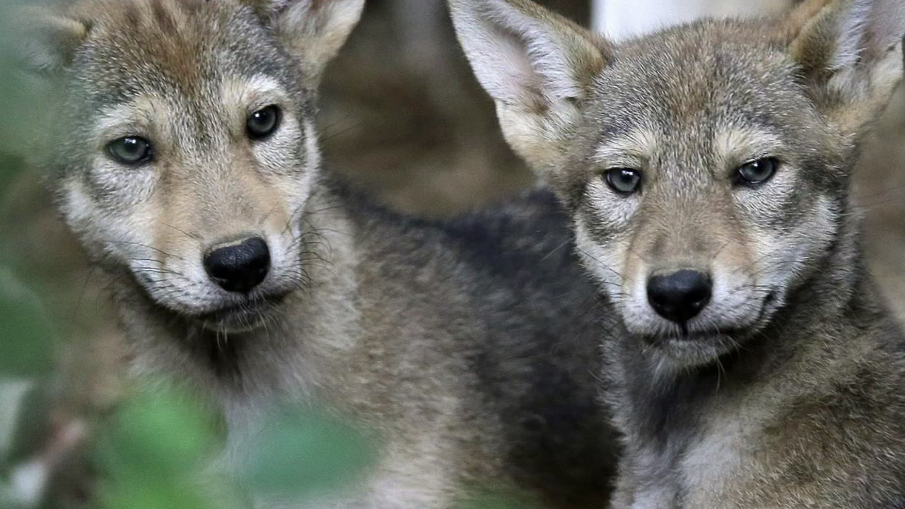 Biologists have discovered that a pack of Galveston canines appear to have the DNA of a wolf declared extinct in the wild.