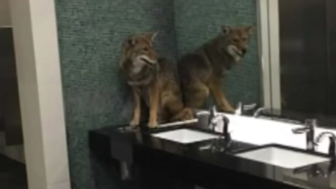 Coyote in the bathroom! Critter runs into convention center