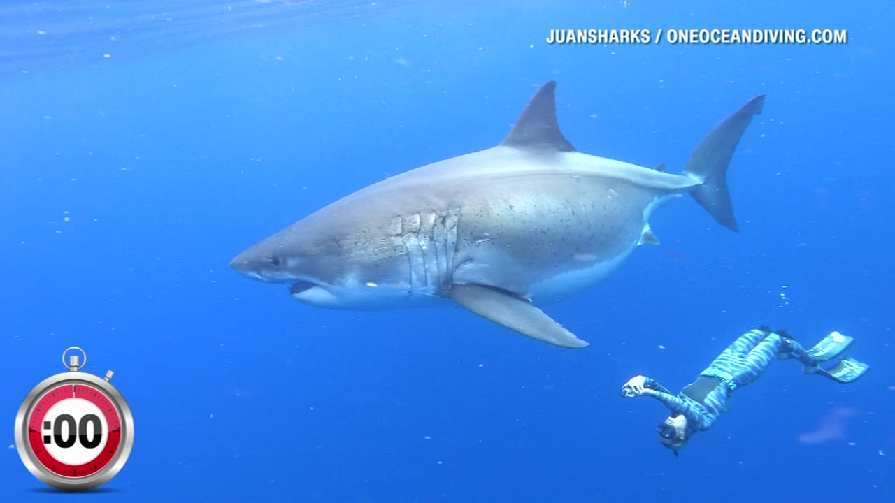 Divers in Hawaii spotted a great white shark- believed to be one of the largest in the world. Her name is Deep Blue, and shes over 50-years old.