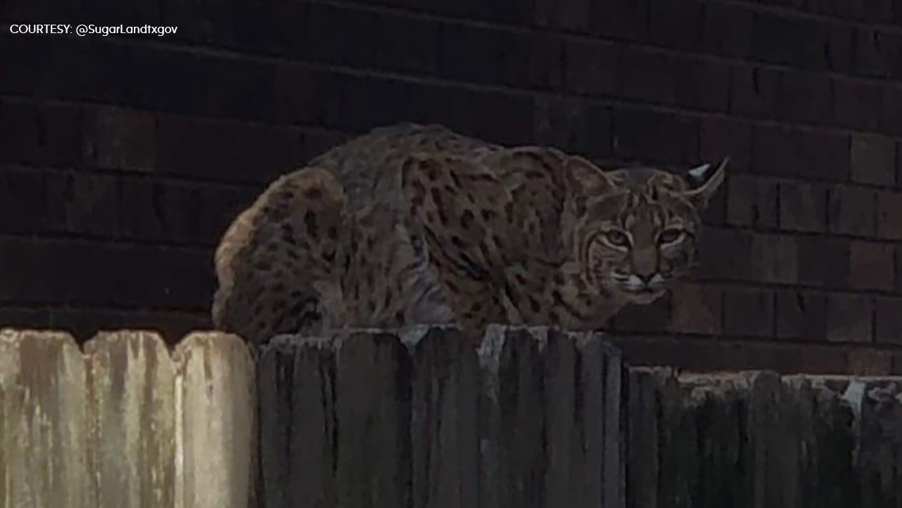 The city of Sugar Land are warning residents in the Greatwood area to keep their eyes open after a bobcat was spotted.