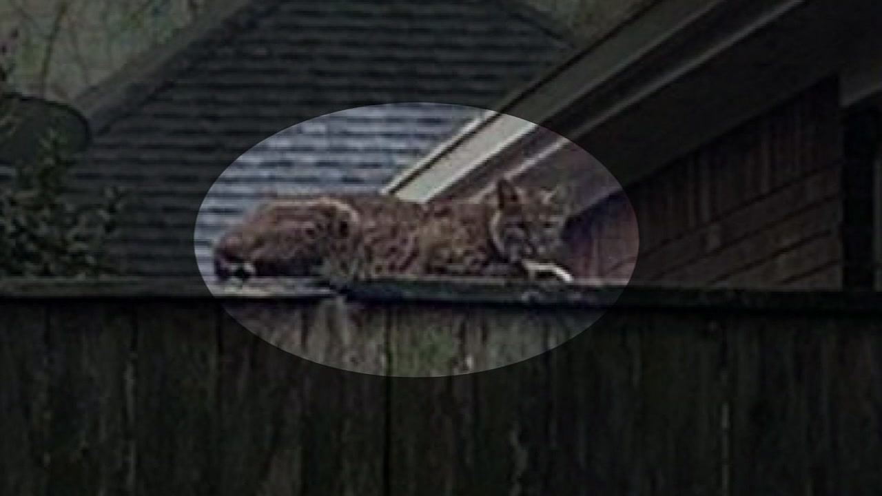 Bobcat sighting has officials warning about mating season