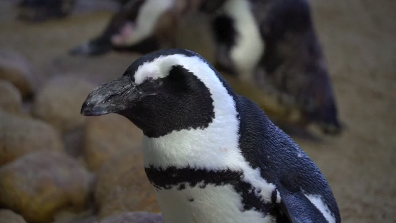 Researchers in South Africa have created a sperm bank in hopes that in vitro fertilization will save the African penguins.
