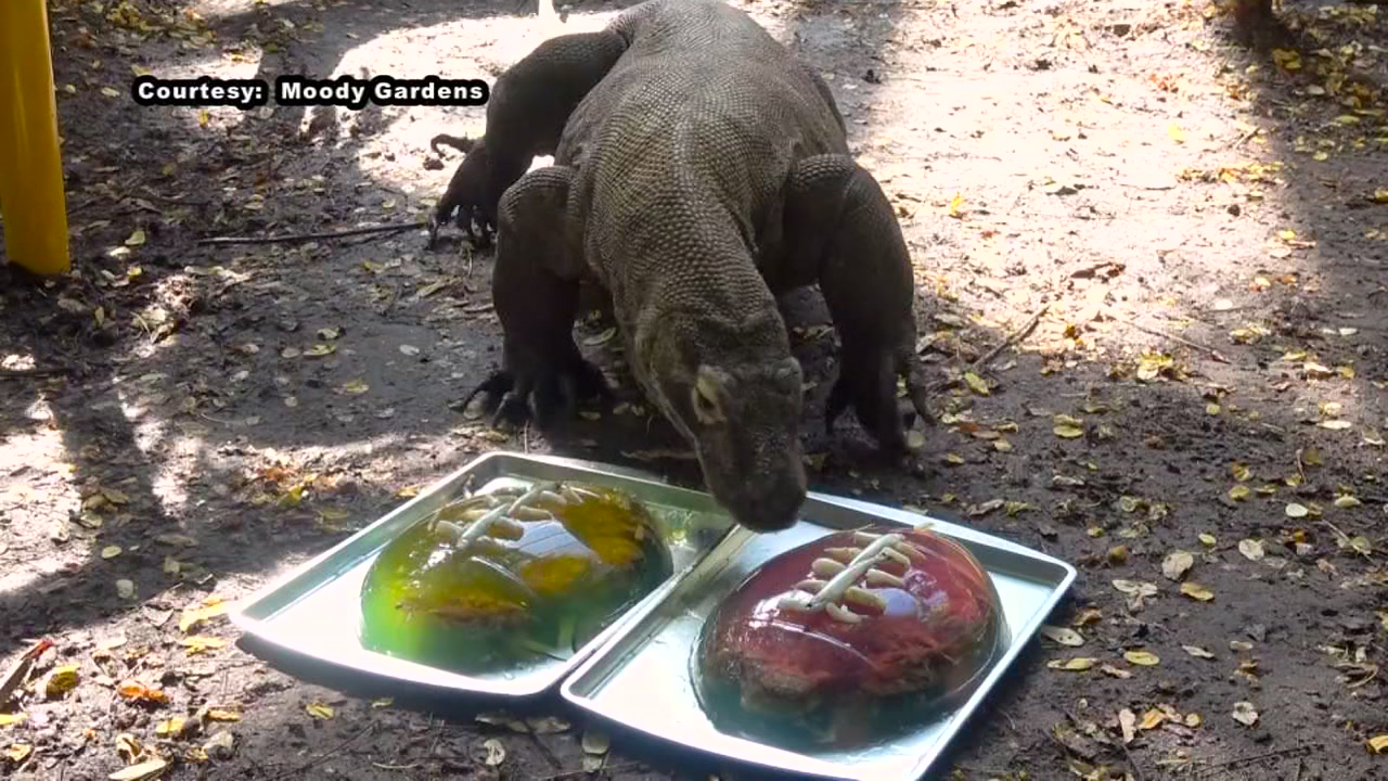 Who will win Super Bowl LIII? Murphy, the Komodo dragon at Moody Gardens, has made a prediction.