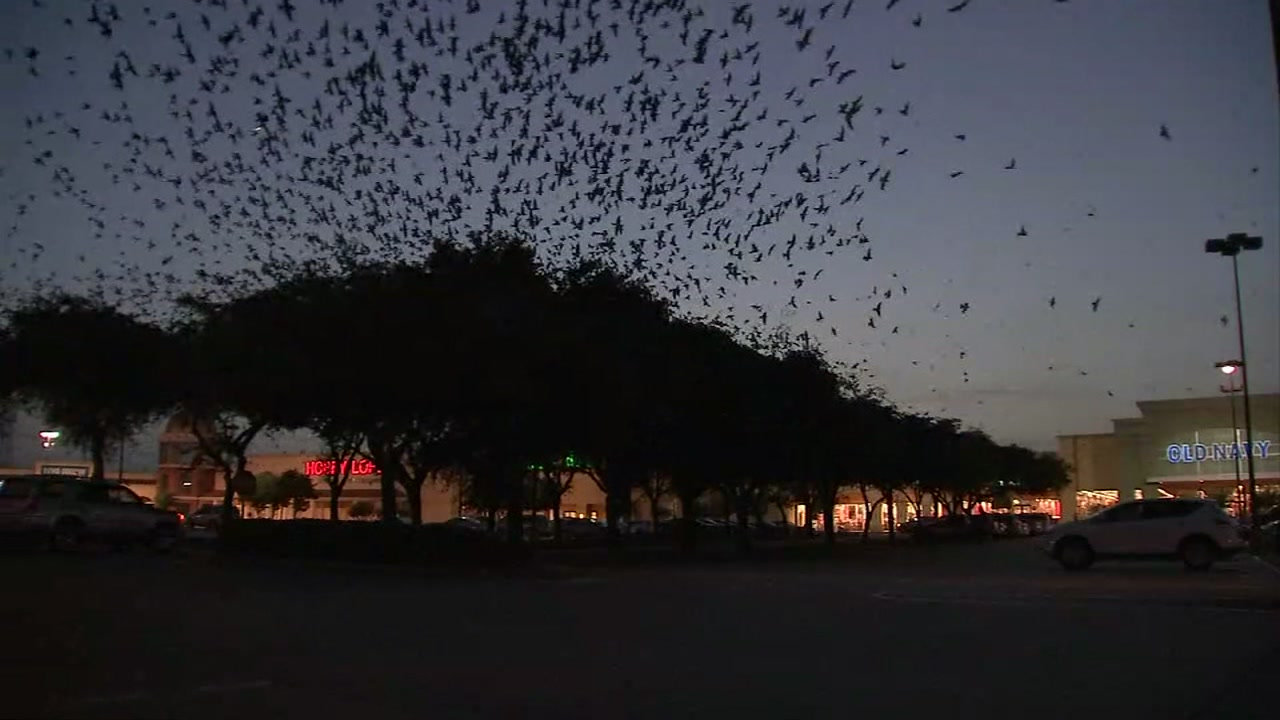 BIRD-NADO: Thousands of birds swarm Stafford shopping strip