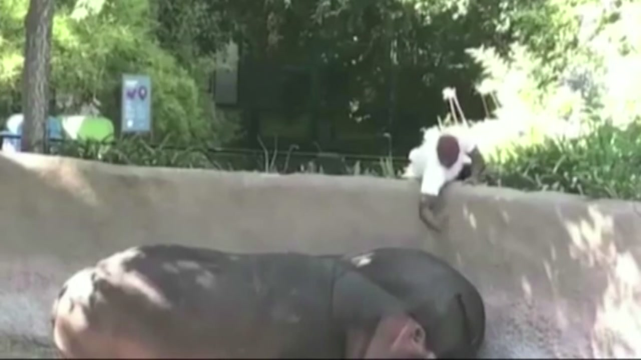 Police are investigating after a video shows a man spanking a hippopotamus at the Los Angeles Zoo.