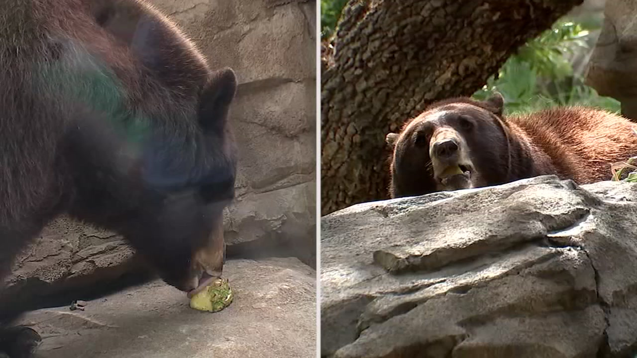 Houston Zoo lets visitors go nose-to-nose with new black bears