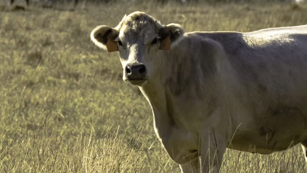 Mad cow detected in Florida cow