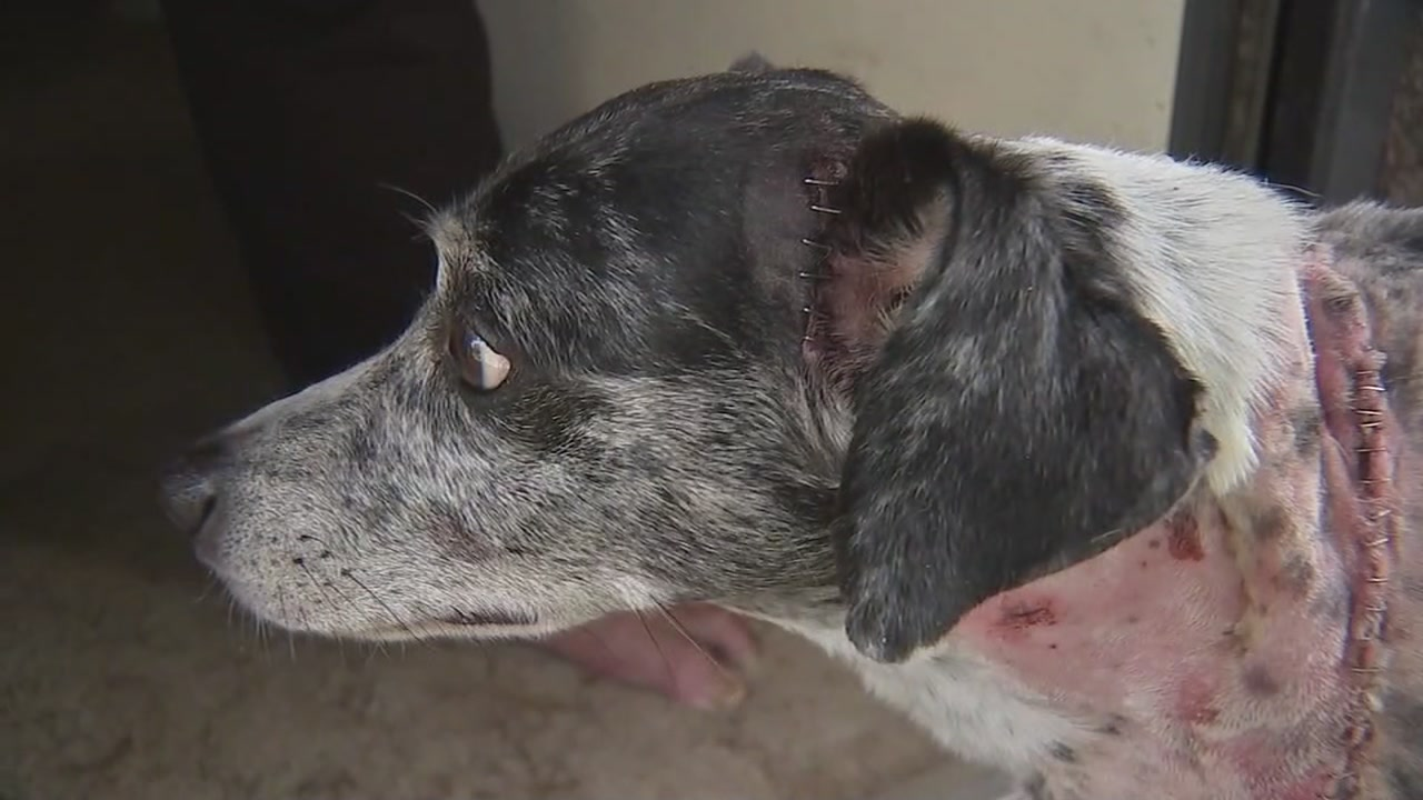 An Alvin couples dog is recovering after being shot and stabbed