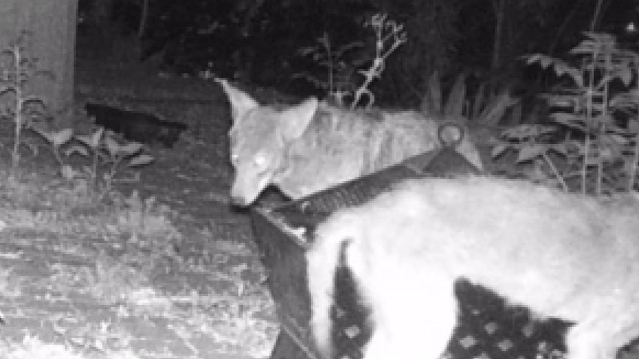 Neighbors want to rid of coyotes after latest attack