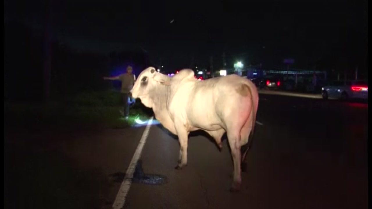 Loose bull sends deputies scrambling
