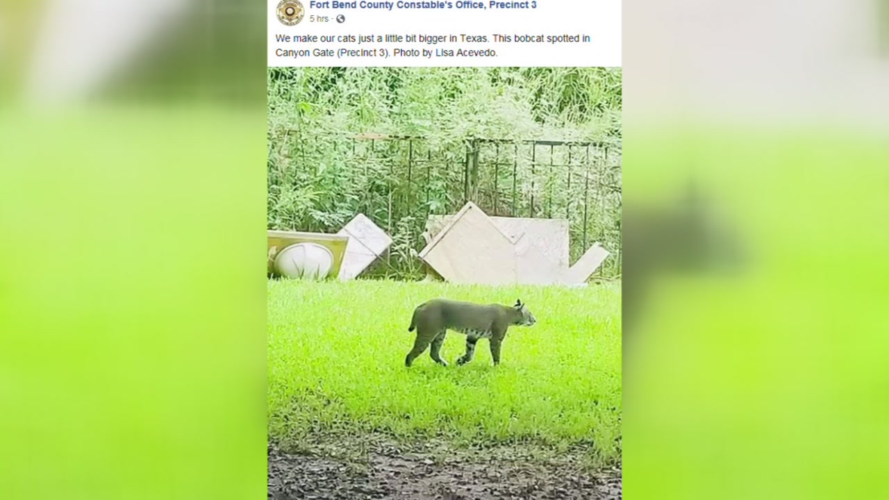 This bobcat was caught in a photo as it stalked some potential prey in Fort Bend County.