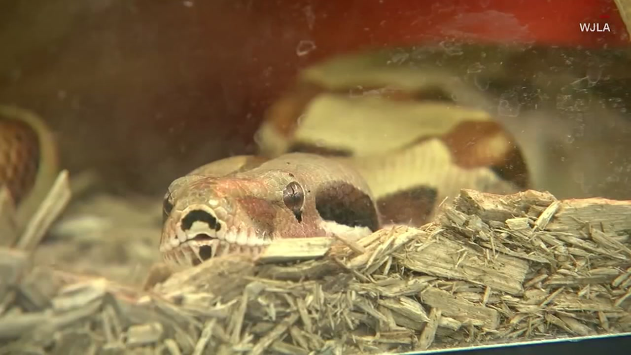Escaped boa constrictor snake sets off alarm at high school