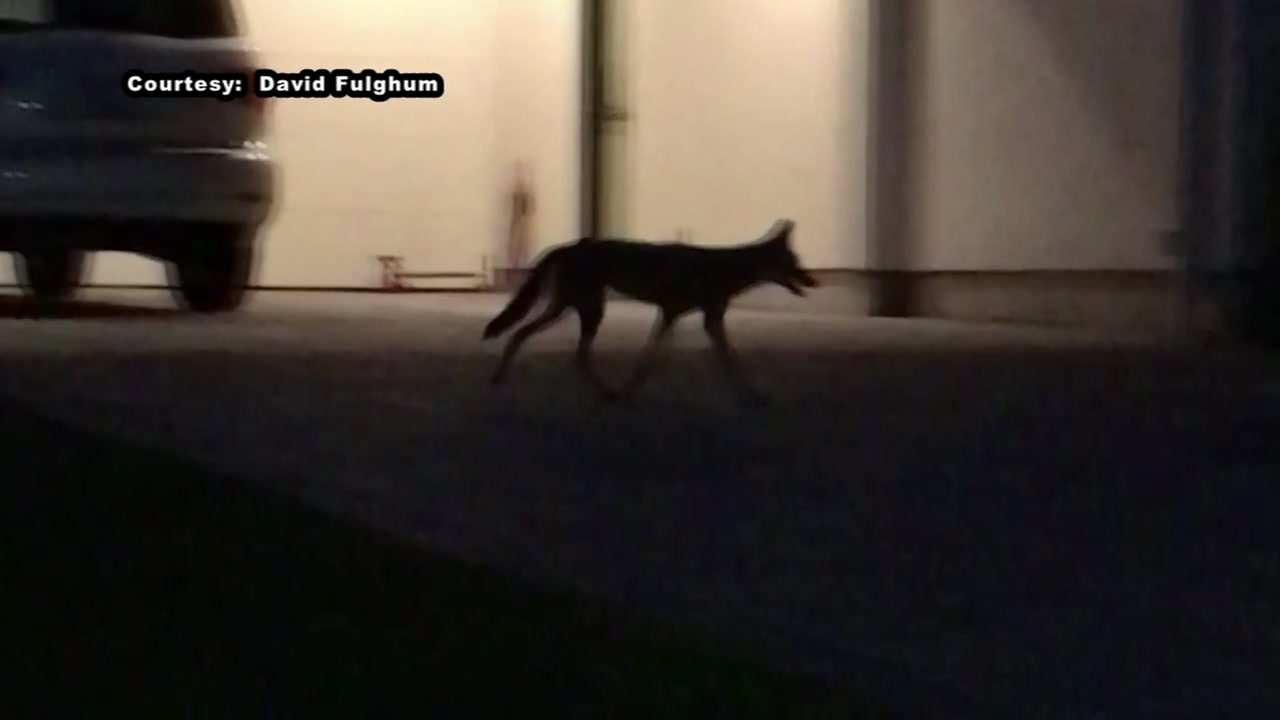 After two dogs were attacked by coyotes, a police captain is warning other residents to check twice before letting pets outside.