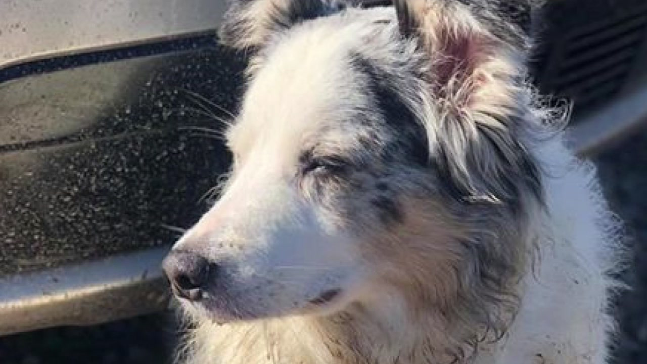 12 year old dog, Jasper, was found 8-years after he went missing from Louisana.