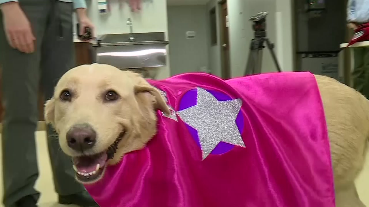 A Dog gets kidney transplant from one of her own puppies.