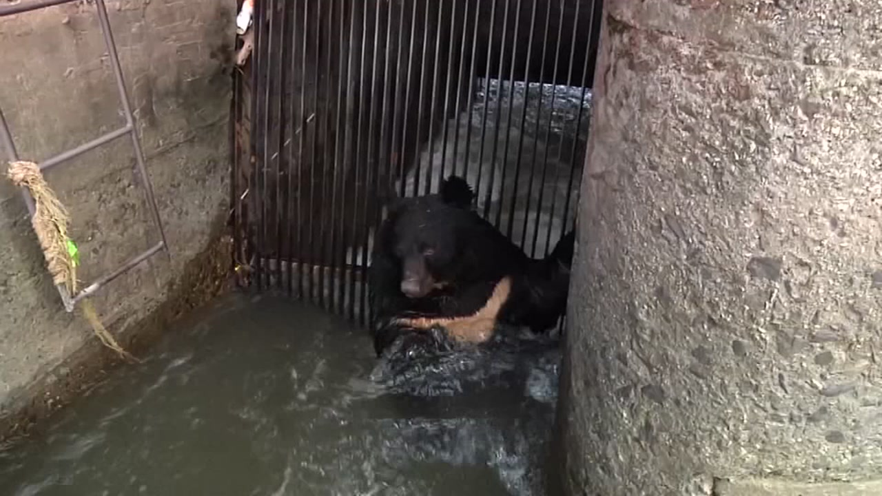 Trapped Asian black bear rescued from drowning at hydropower station.