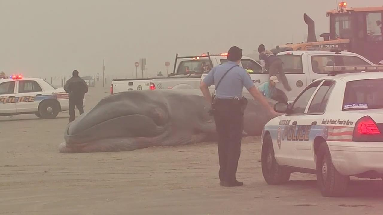 Necropsy underway on beached whale in Galveston