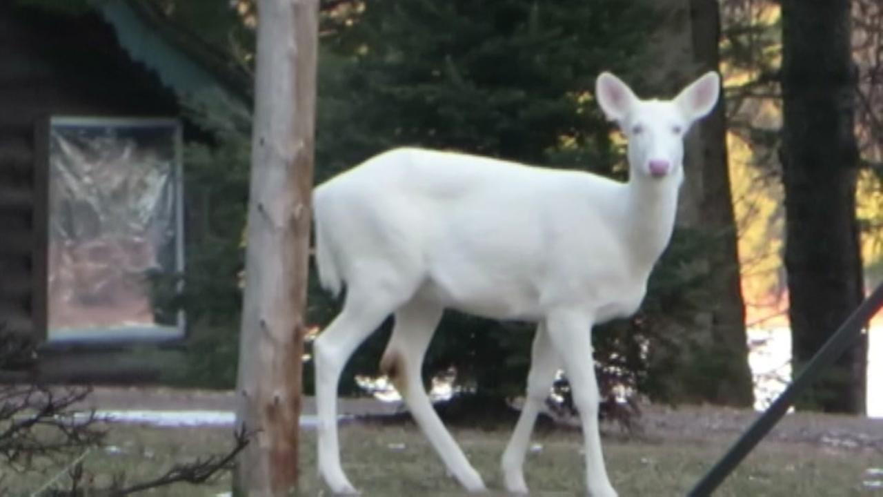 Southwest Wisconsin News >> Rare albino deer caught on camera in Wisconsin | abc13.com