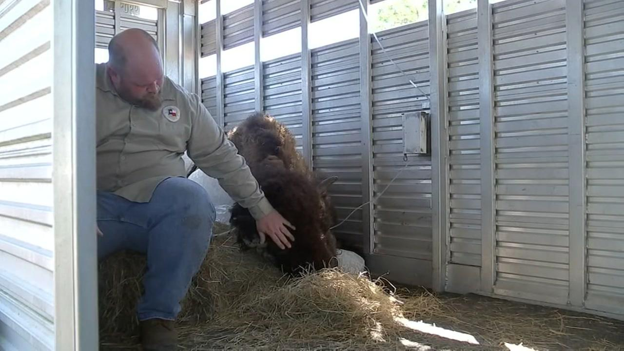 rip buffy  bison rescued from historic flooding dies