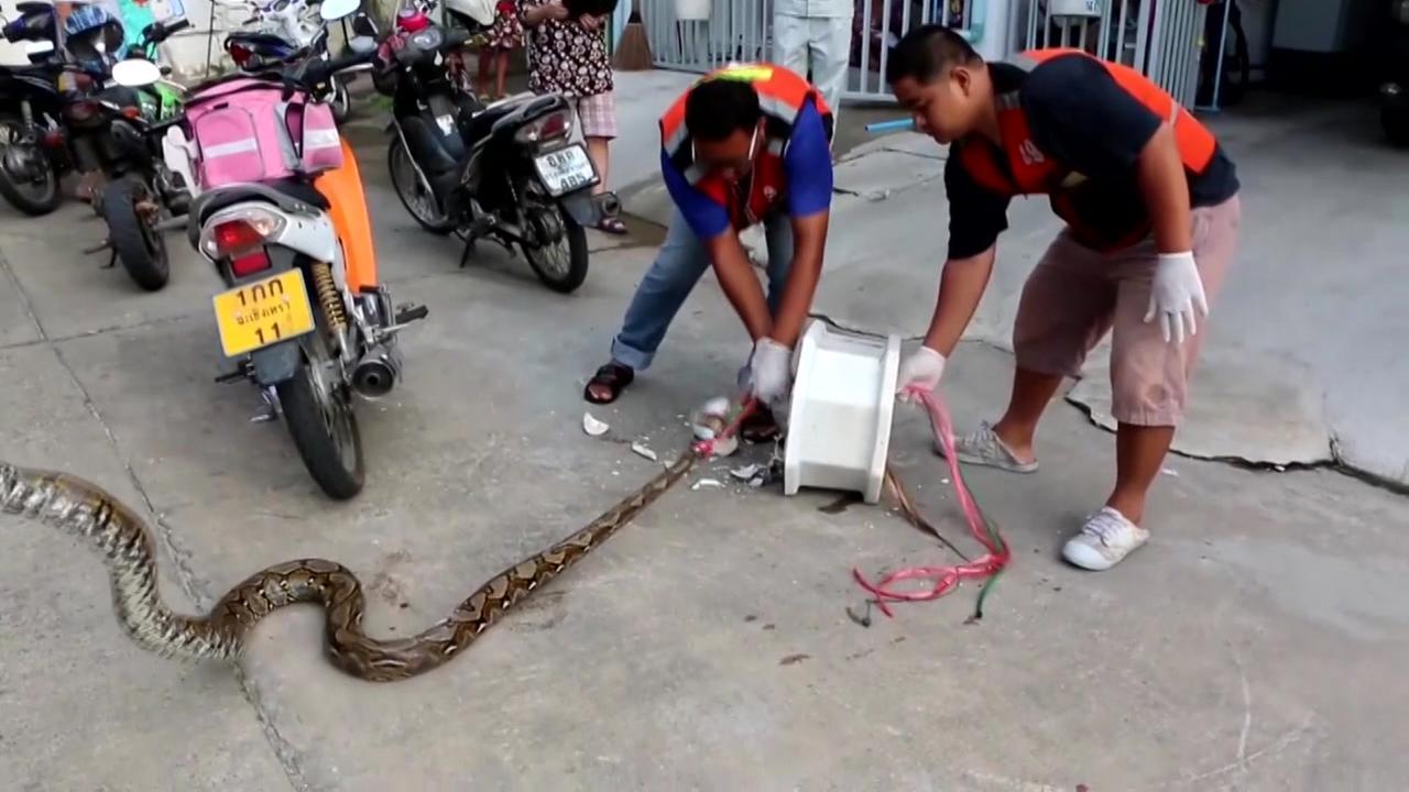 10-foot-long python bites Thai man's penis on squat toilet | abc7chicago.com