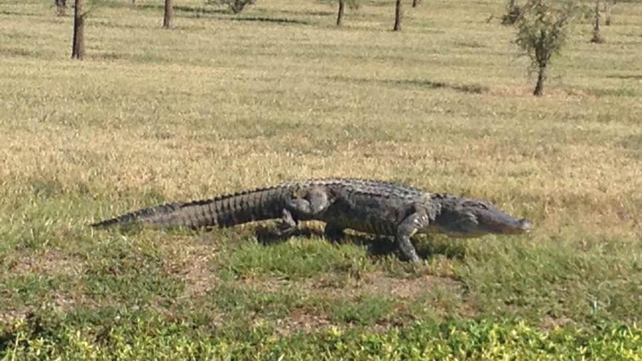 Alligator freed from trap, residents and MUD at odds