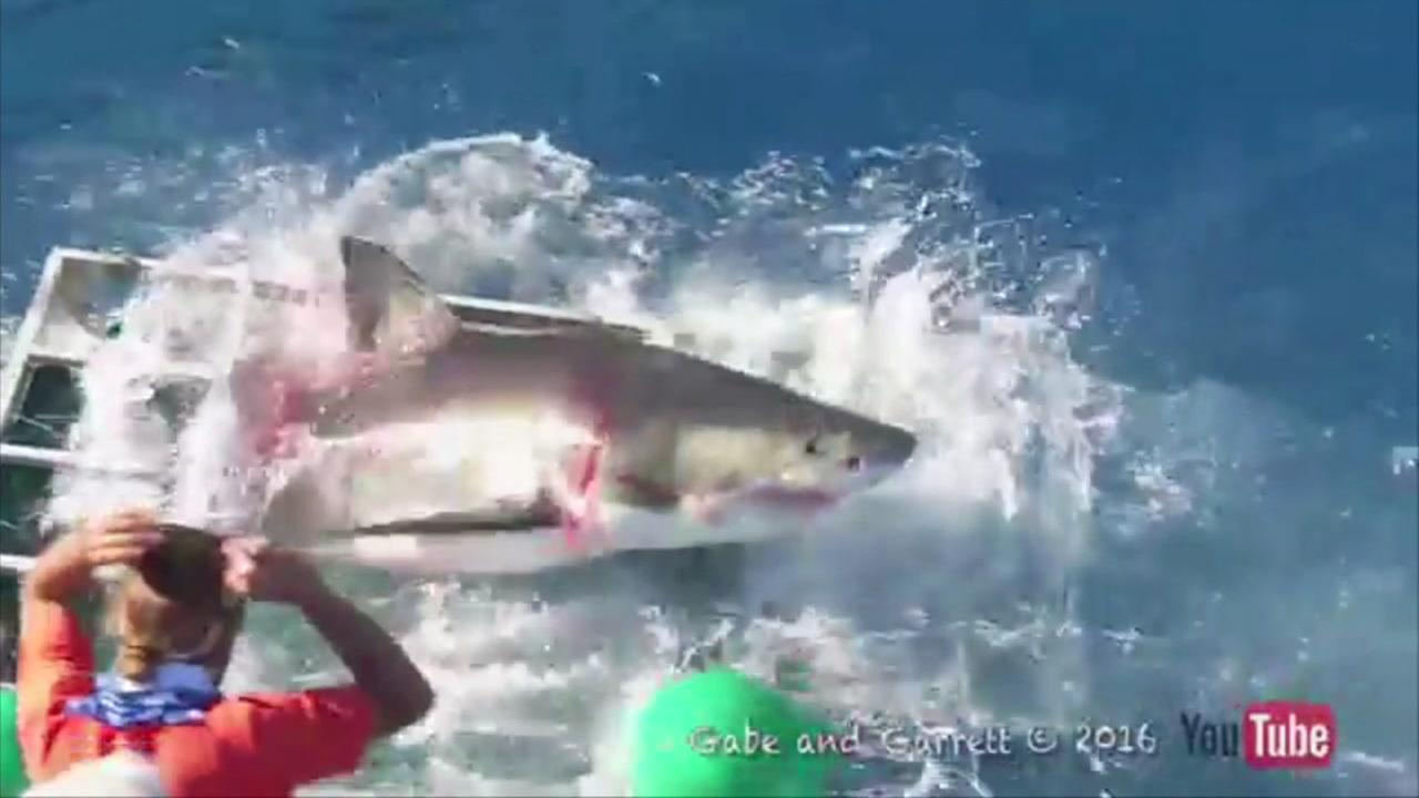 Shark smashes into cage with diver inside
